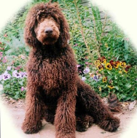 Poodles And The Bichon Breeds